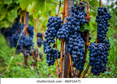 Colorful grapes, ready to take them and make some fine wine.
