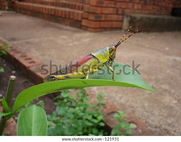 Colorful grass-hopper