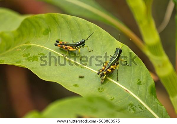 Colorful Grasshopper Insect in the Amazon River in Peru