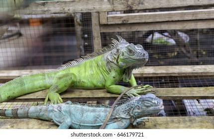Colorful green Iguana