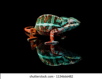 Colorful Green and red Panther Chameleon (Furcifer pardalis)  Close Up on a black background full body with reflection