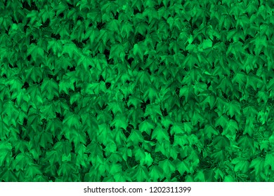 colorful green wild grape leaves textured background