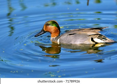 colorful green winged teal duck in florida wetland pond