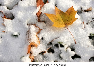 Colorful green and yellow autumn leaves in the first snow. - Shutterstock ID 1247776333
