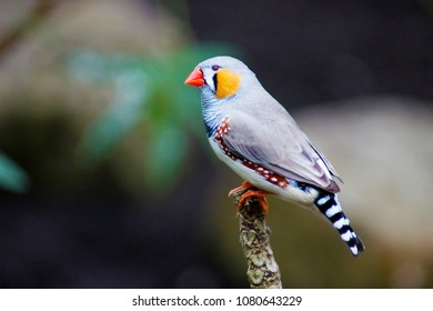 a colorful grey yellow bird zebra finch (Taeniopygia guttata), sitting on a tree branch, species native and endemic to australia