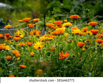 Colorful group of common marigolds or pot marigolds, Calendula officinalis, low maintenance garden flowers growing in autumn garden, closeup with selective focus