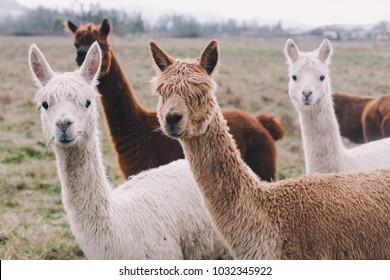 Colorful group / pack of Alpacas