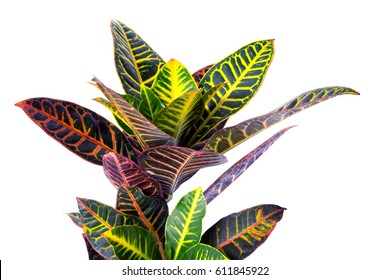Colorful growing croton homeplant on a white background.