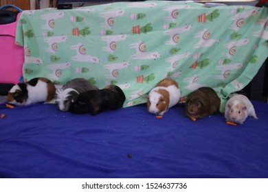 Colorful Guinea Pig Group Photo