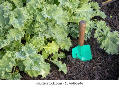 Colorful hand trowel next to baby kale plants in a garden bed.