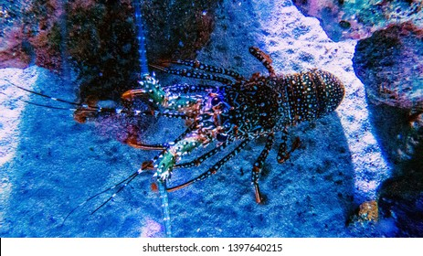 Colorful and healthy lobster viewed from below with special light effects all around.