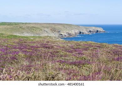 colorful heath vegetation detail seen around Pointe du Raz in Brittany, France