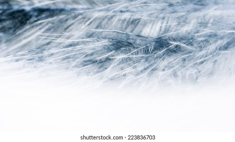 Colorful hen feather with white background