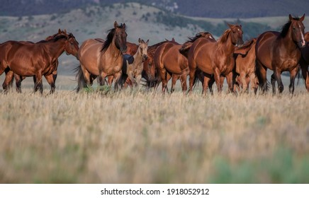 Colorful herd of American Quarter horses  mares ,foals, and stallion on a grassy plain in front of the Pryor Mountains in Montana