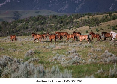 Colorful herd of ranch horses in Montana American Quarter Horses and paint ponies galloping on the range in front of the Pryor Mountains