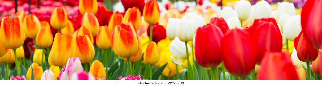 Colorful holiday or birthday panoramic background with tulip flowerbed, red, yellow, white, Keukenhof flower garden, Netherlands, Holland