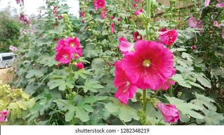Colorful hollyhock flowers in the winter. growing along the hills