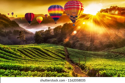 Colorful hot air balloons and misty morning sunrise in strawberry garden.