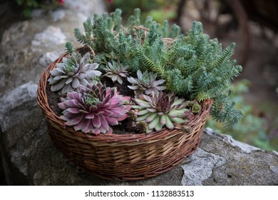 Colorful houseleek planted in a basket