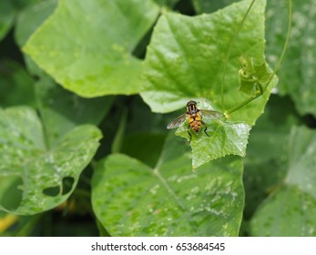 colorful hoverfly or flowerfly on green leaf of ivy gourd plant.