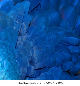 Colorful of Hyacinth Macaw bird's feathers, exotic nature background and texture