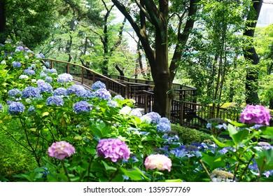 Colorful hydrangea flowers beside a wooden walkpath in Tamagawadai Park, Kanagawa, Japan