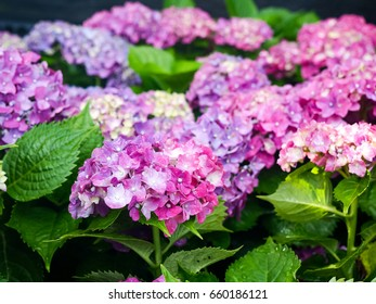 Colorful Hydrangea flowers in garden