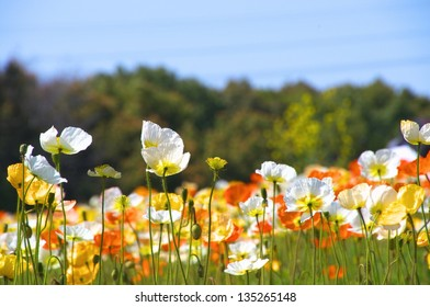 colorful iceland poppy