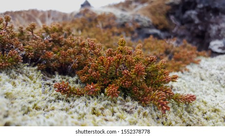 Colorful Iceland succulent growing along a mossy rock
