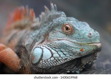 Colorful iguana with beautiful eyes