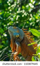 Colorful iguana resting on a branch