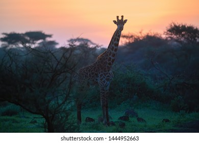 Colorful image of Masai Giraffe, Giraffa camelopardalis, standing in acacia bush, looking at a camera, against vibrant  colored morning sky. Wildlife photography at Amboseli, Kenya.