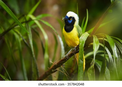 Colorful  Inca Jay Cyanocorax yncas perched on mossy branch, blue facial mask, bright yellow breast, upright tuft, looking for food. Ecuador, blurred green forest background.