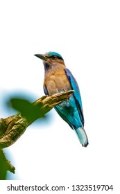 Colorful Indian Roller perching on a perch isolated on white background