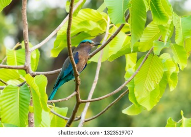 Colorful Indian Roller perching on a perch