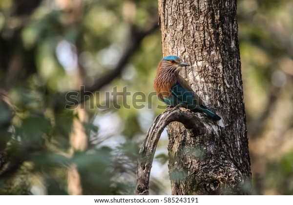 Colorful Indian roller perching on a branch, Pench National Park, India