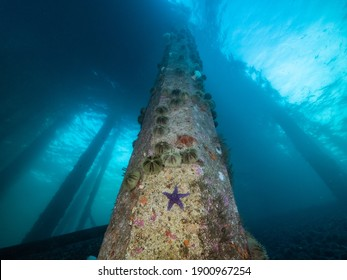 Colorful invertebrates on the pilings of a dock or jetty underwater off Campbell River, Vancouver Island, British Columbia, Canada.