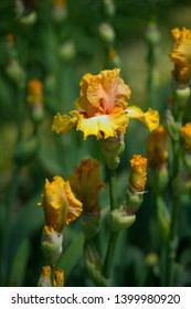 Colorful irises in the garden, perennial garden. Gardening. Bearded iris variety Chariots of fire.
