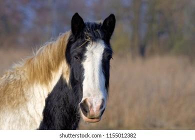 colorful irish cob horse