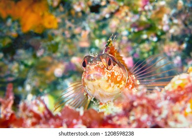 A colorful island kelpfish found in California's Channel Islands rests motionless on the bottom before darting away.