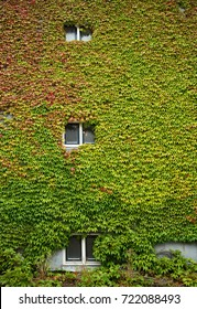 Colorful ivy covering old building wall