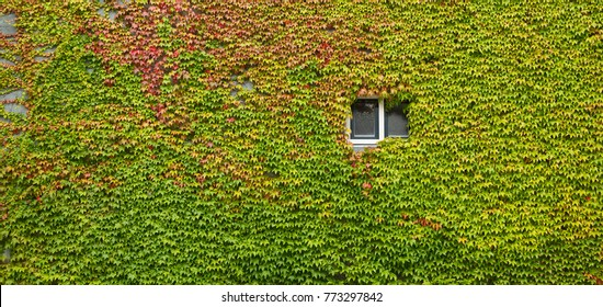 Colorful ivy covering old building wall, in fall