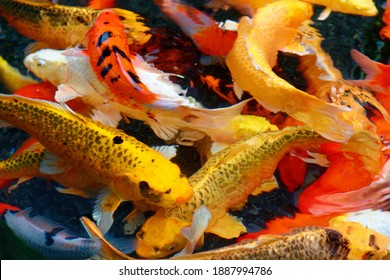 Colorful Japanese carp fish swimming in a Koi pond in a garden in Kyoto, Japan ~ A brilliant image of vibrant Chinese Fancy Carp fish swimming merrily in the clear water