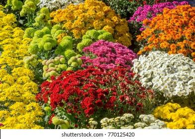 Colorful japanese chrysanthemums