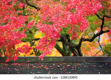 Colorful japanese maple (Acer palmatum) leaves during momiji season at Kinkakuji garden, Kyoto, Japan