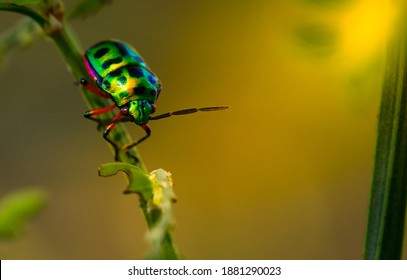 Colorful of Jewel beetle green lady bug on leaf in nature background at Thailand, Close up green insect, Coccinella septempunctata