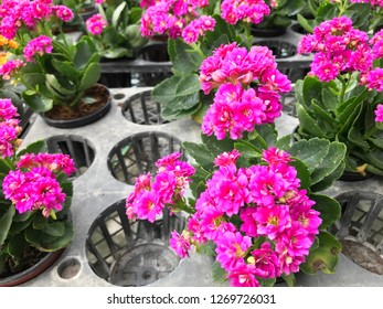 Colorful Kalanchoe flower, houseplant for home and garden decoration