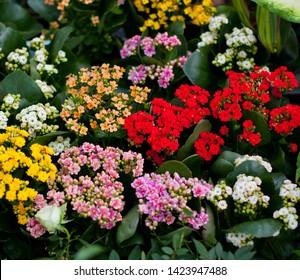 Colorful kalanchoe (Saxifragales Crassulaceae Kalanchoe) flowers in bloom. Kalanchoe blossfeldiana flower