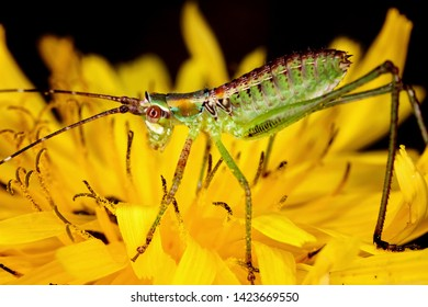 Colorful katydid nymph on a yellow flower.