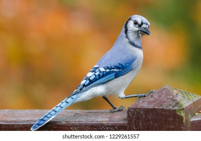 Colorful Kentucky giant blue jay bird on deck in mid November Urban wildlife photography